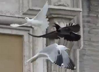 Vatikan-Taube-von-Kraehe-u-Moeve-angegriffen-vertrieben