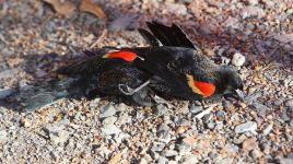 w3000 - 2011-1 - Dead-Birds-Arkansas-fallen vom Himmel