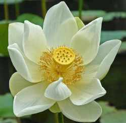 lotusbluete-2