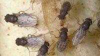 Fruchtfliegen riechen krebs unfassbar interessant was for Trauerfliegen larven
